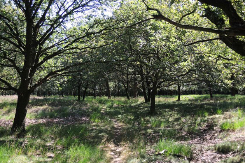 Orvelterzand 17 – pad onder eikenbomen – voetzoekers