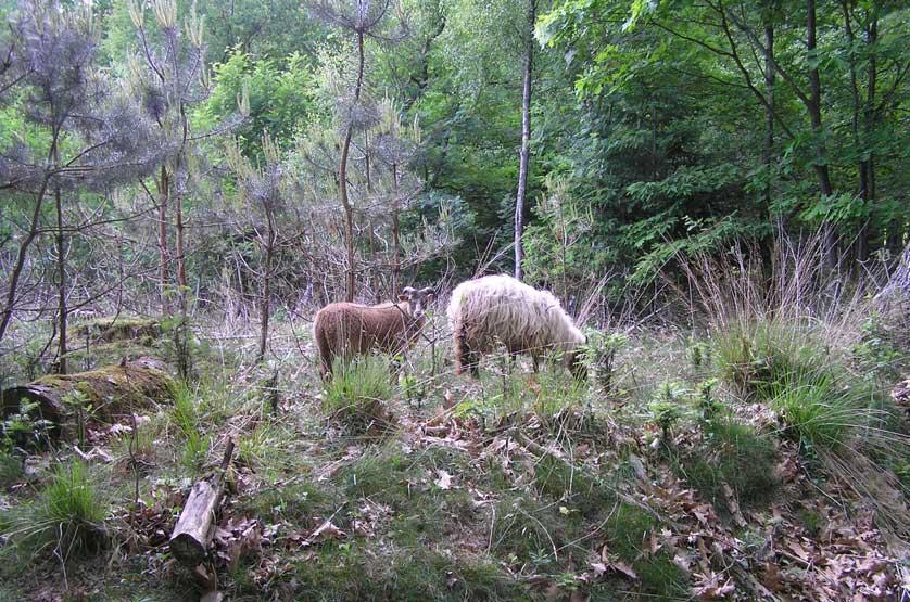 voetzoekers-familiepad-noordenveld-schapen-in-het-bos
