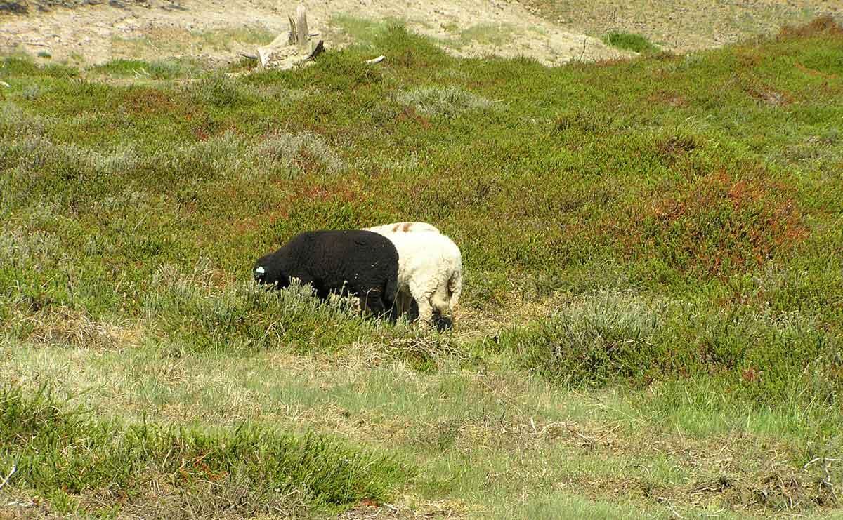 voetzoekers-hoekenbrinkwandeling-schapen