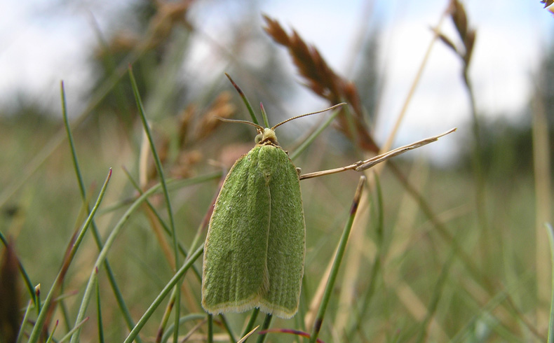 voetzoekers-aekingerzand-groene-eikenbladroller