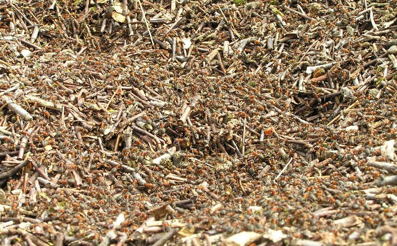 voetzoekers-aekingerzand-mieren