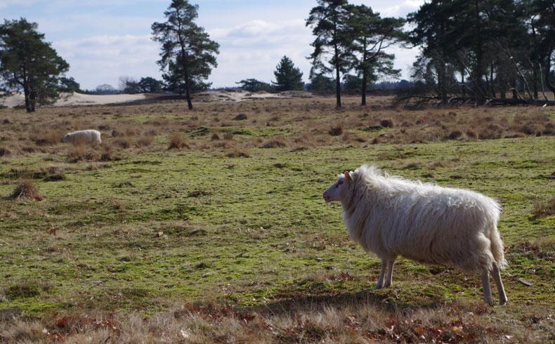 voetzoekers-aekingerzand-schapen