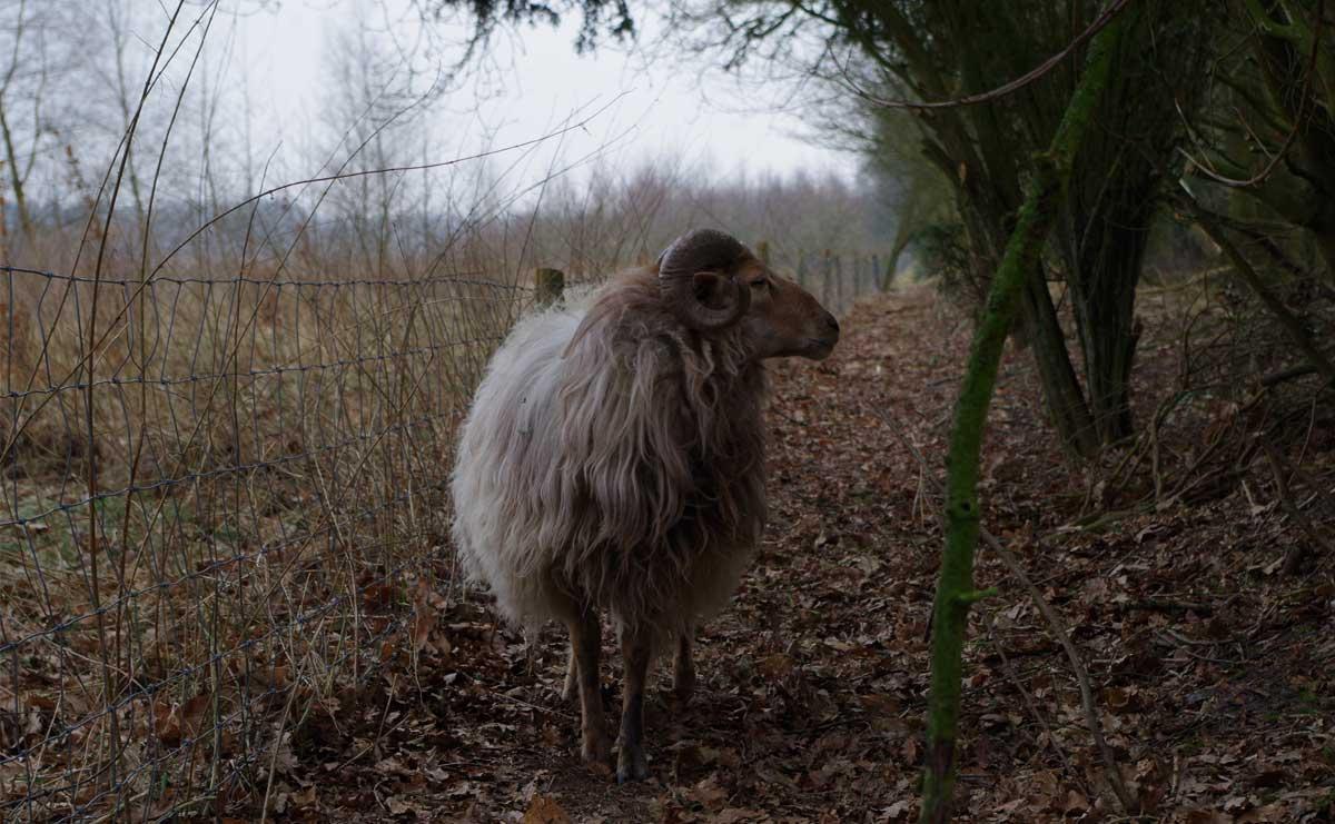 voetzoekers-De-Palms-Drentse-heideschaap