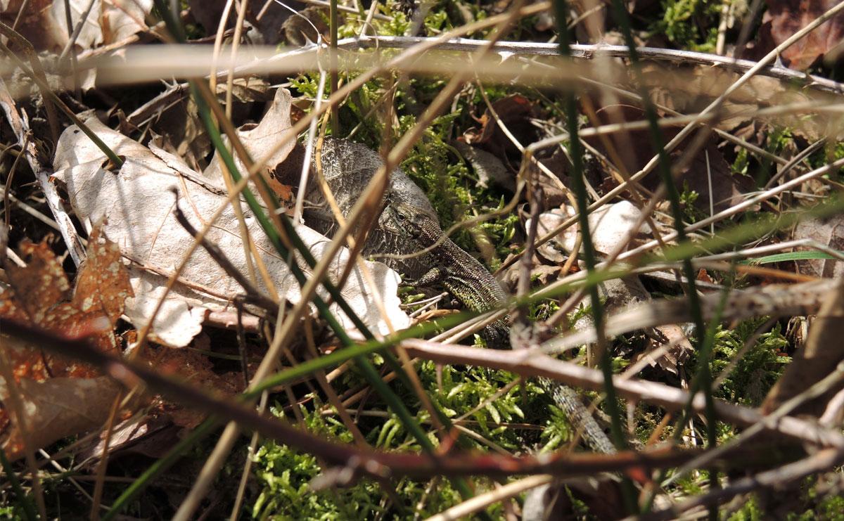 voetzoekers-boswachterij-ruinen-groene-route-hagedis