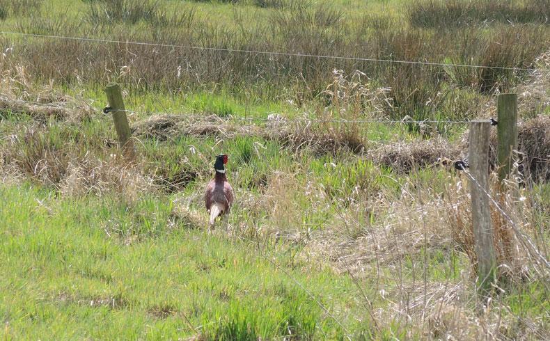 voetzoekers-reestdal-fazant