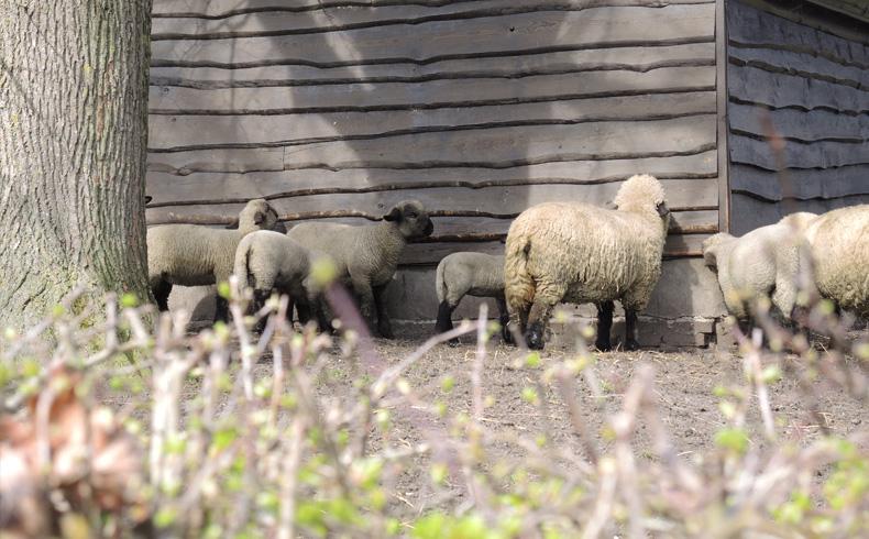 voetzoekers-reestdal-schapen