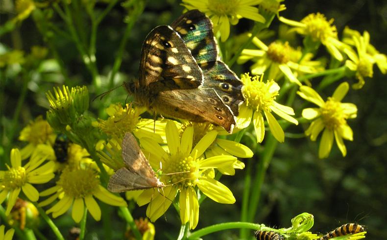 Westerhaar-bont-zandoogje-rups-sint-jacobs-vlinder-strooiselmot-op-jacobskruiskruid-voetzoekers