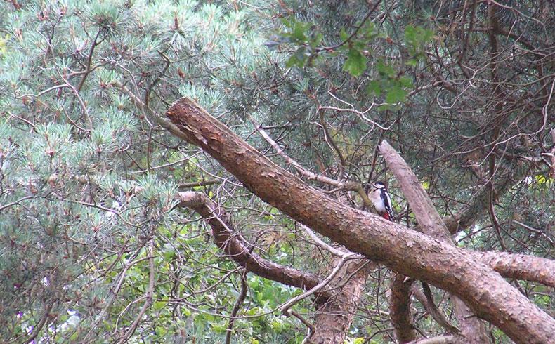 het-kremboongbos-grote-bonte-specht-voetzoekers