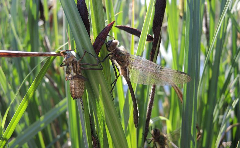 veenweidewandeling-libellen-voetzoekers