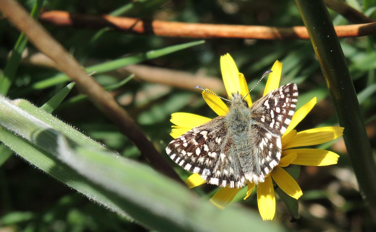 voetzoekers-bargerveen-geel-aardbeivlinder