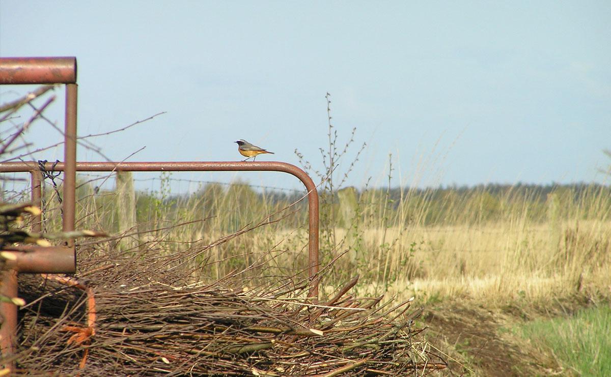 voetzoekers-bargerveen-geel-gekraagde-roodstaart