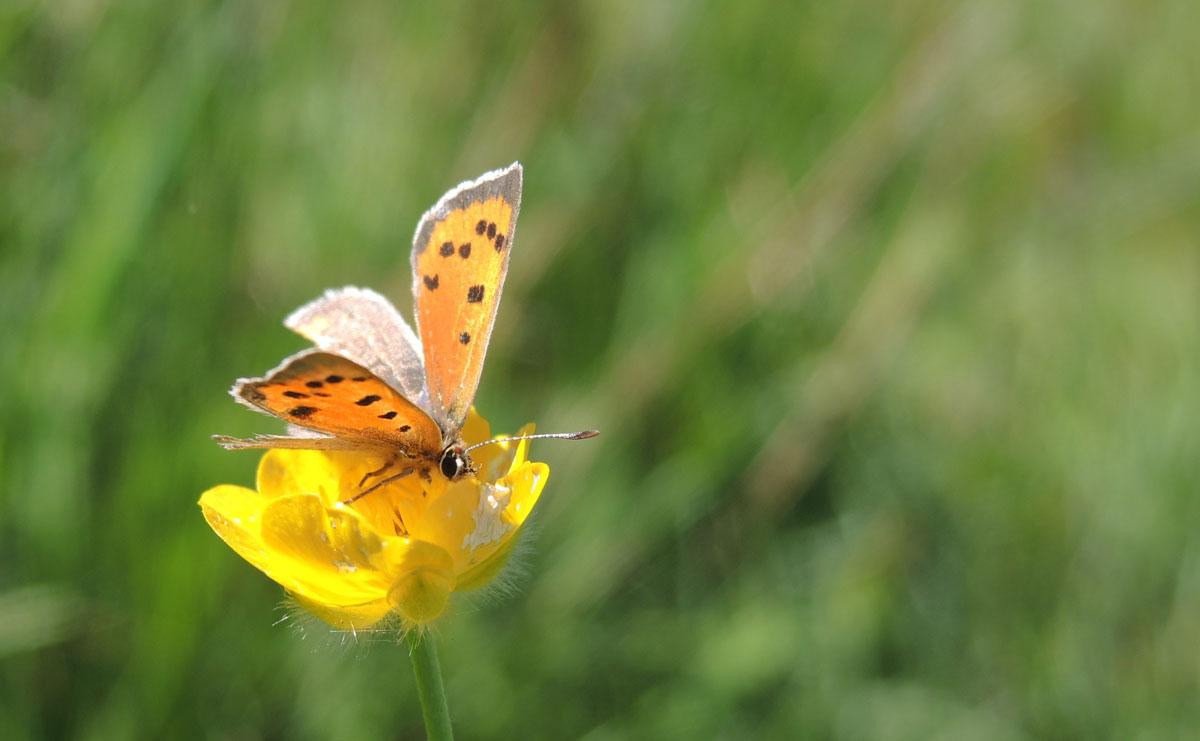 voetzoekers-bargerveen-geel-kleine-vuurvlinder