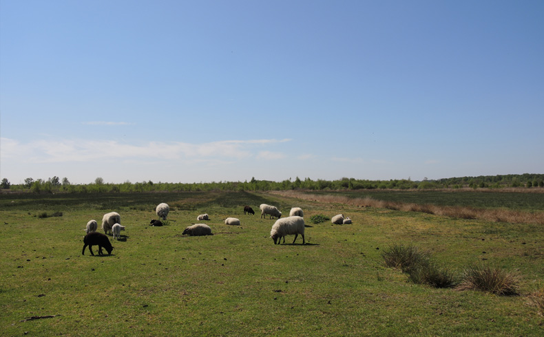 voetzoekers-bargerveen-geel-schapen