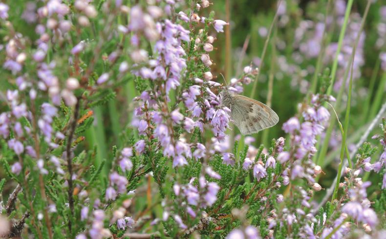 orvelterzand-hooibeestje-voetzoekers