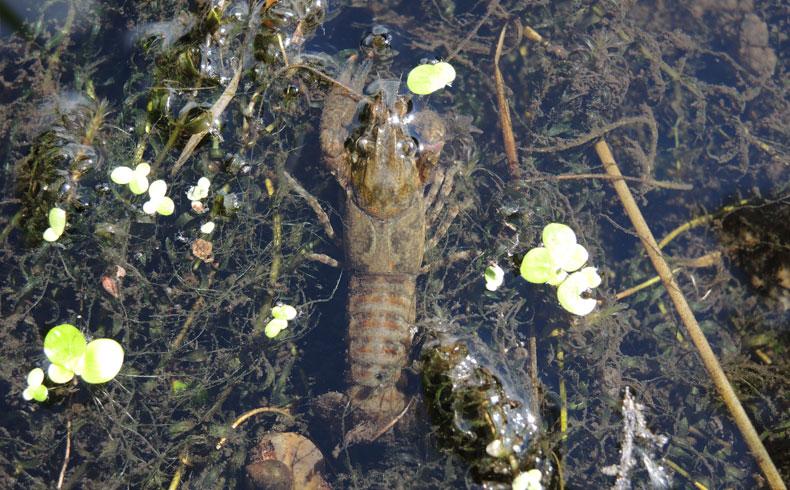 havenroute-waterloopbos-gevlekte-amerikaanse-rivierkreeft-voetzoekers