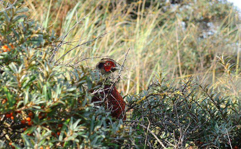 voetzoekers-de-muy-texel-fazant