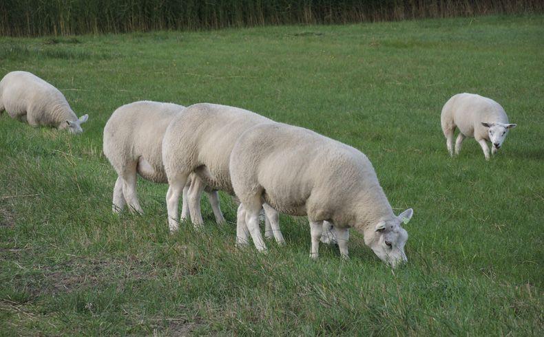 voetzoekers-de-muy-texel-schapen-tijdens-de-wandeling