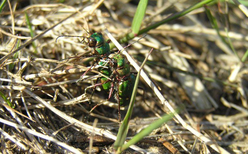 voetzoekers-archeologische-route-sleenerzand-groene-zandloopkevers