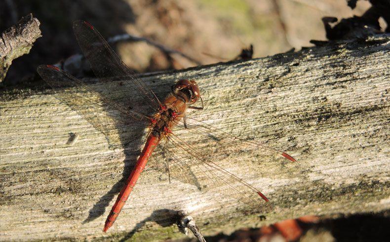 voetzoekers-esmeerroute-bloedrode-heidelibel
