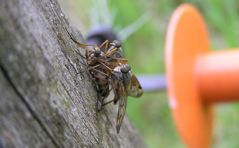 voetzoekers-geeserstroom-gewone-snipvlieg