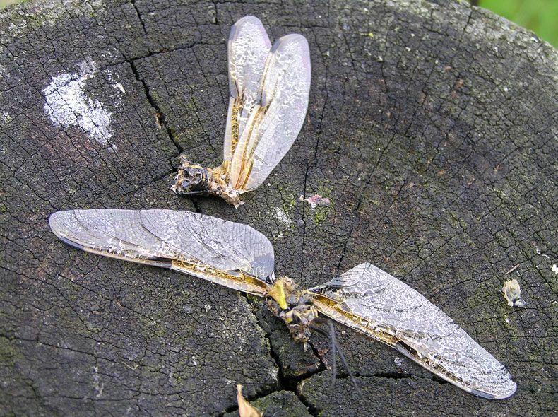 voetzoekers-geeserstroom-restanten-viervlek