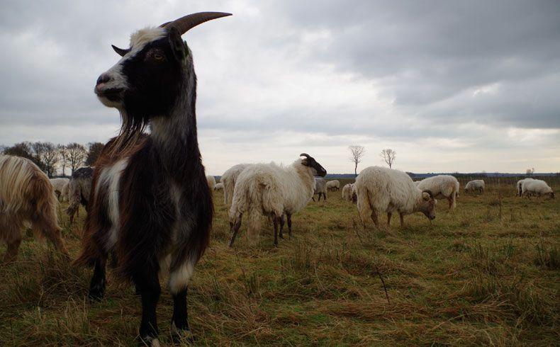 voetzoekers-schaapskooi-achter-t-zaand-geit