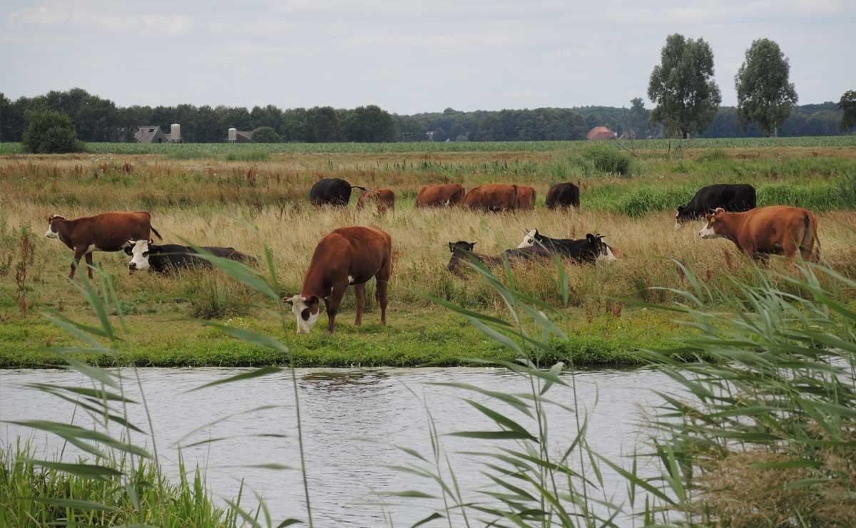 voetzoekers-annermoeras-runderen