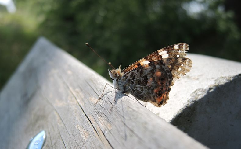 voetzoekers-beekdal-hondstong-distelvlinder