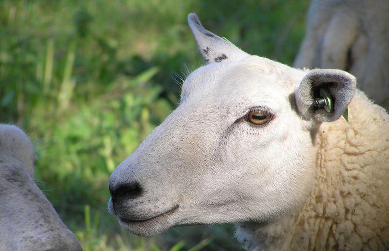 voetzoekers-beekdal-hondstong-schapen-in-het-gebied